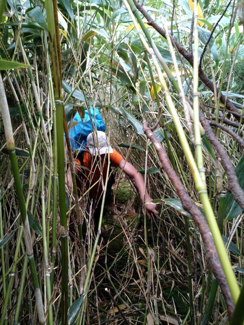 бамбуковый стланик на курильских островах